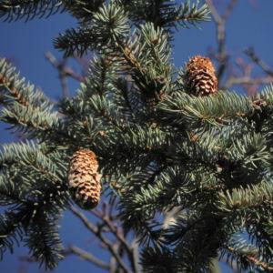 Borsten Fichte Picea asperata 11