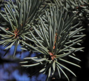Borsten Fichte Picea asperata 14