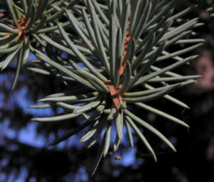 Borsten Fichte Picea asperata 15