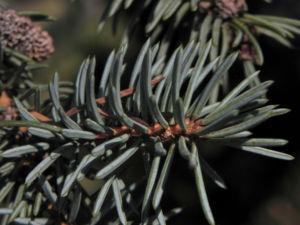 Borsten Fichte Picea asperata 18