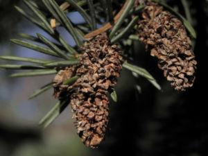 Bild: Borsten Fichte Picea asperata