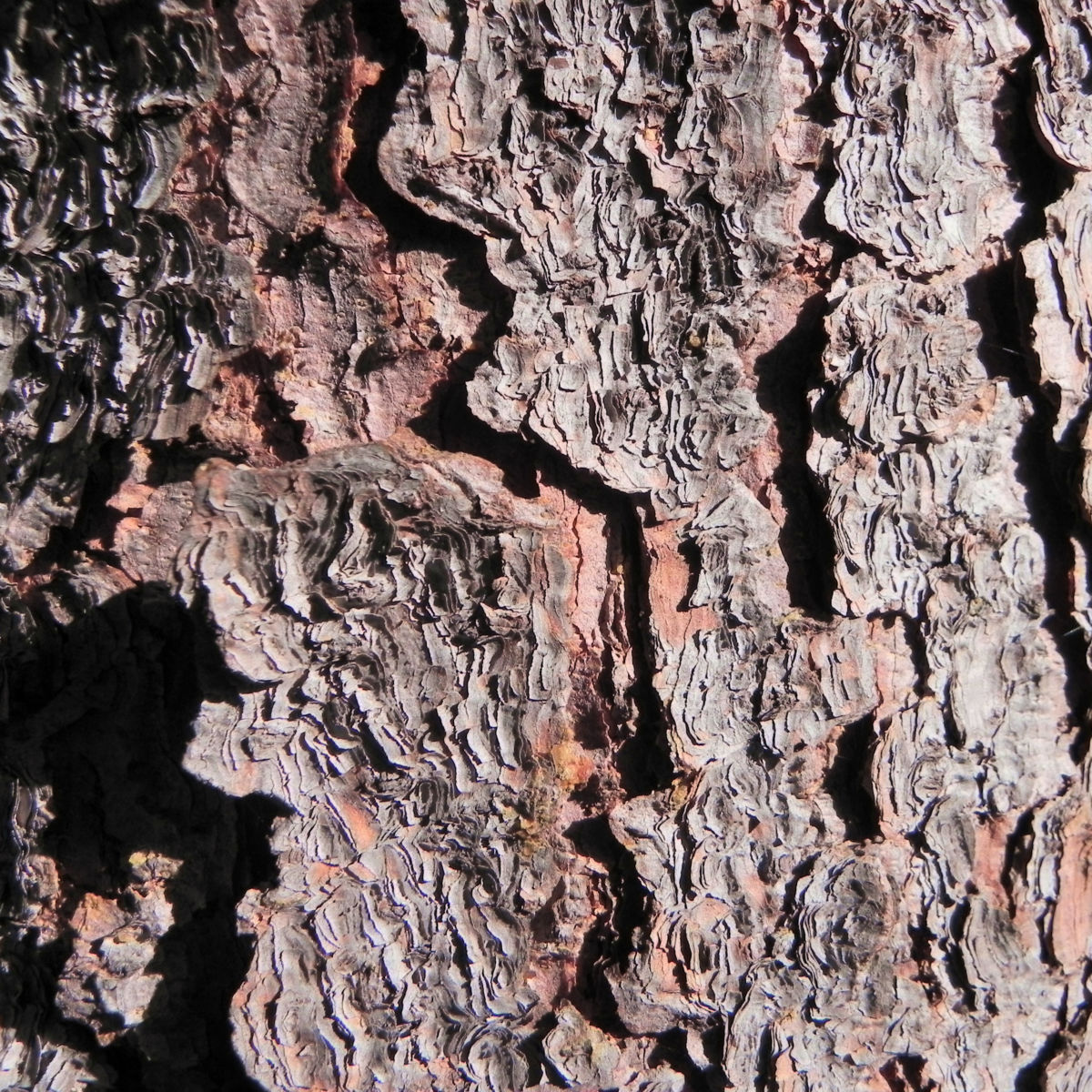Borsten Fichte Picea asperata