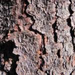 Borsten Fichte Picea asperata 20