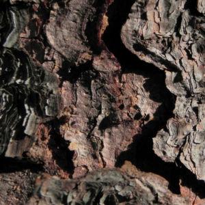 Borsten Fichte Picea asperata 22