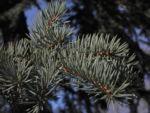 Borsten Fichte Picea asperata 24