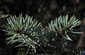 Borsten Fichte Picea asperata 26