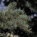 Zurück zum kompletten Bilderset Borsten-Fichte Nadel blaugrün Rinde braun Picea asperata