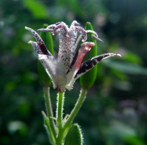 Borstige Kroetenlilie Bluete lila Tricyrtis hirta 12