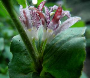 Bild: Borstige Kroetenlilie Bluete lila Tricyrtis hirta