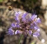 Borstiger Bienenfreund Bluete zartlila Phacelia tanacetifolia 02