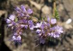 Borstiger Bienenfreund Bluete zartlila Phacelia tanacetifolia 04