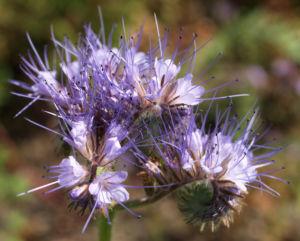 Borstiger Bienenfreund Bluete zartlila Phacelia tanacetifolia 06