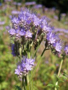 Borstiger Bienenfreund Bluete zartlila Phacelia tanacetifolia 07