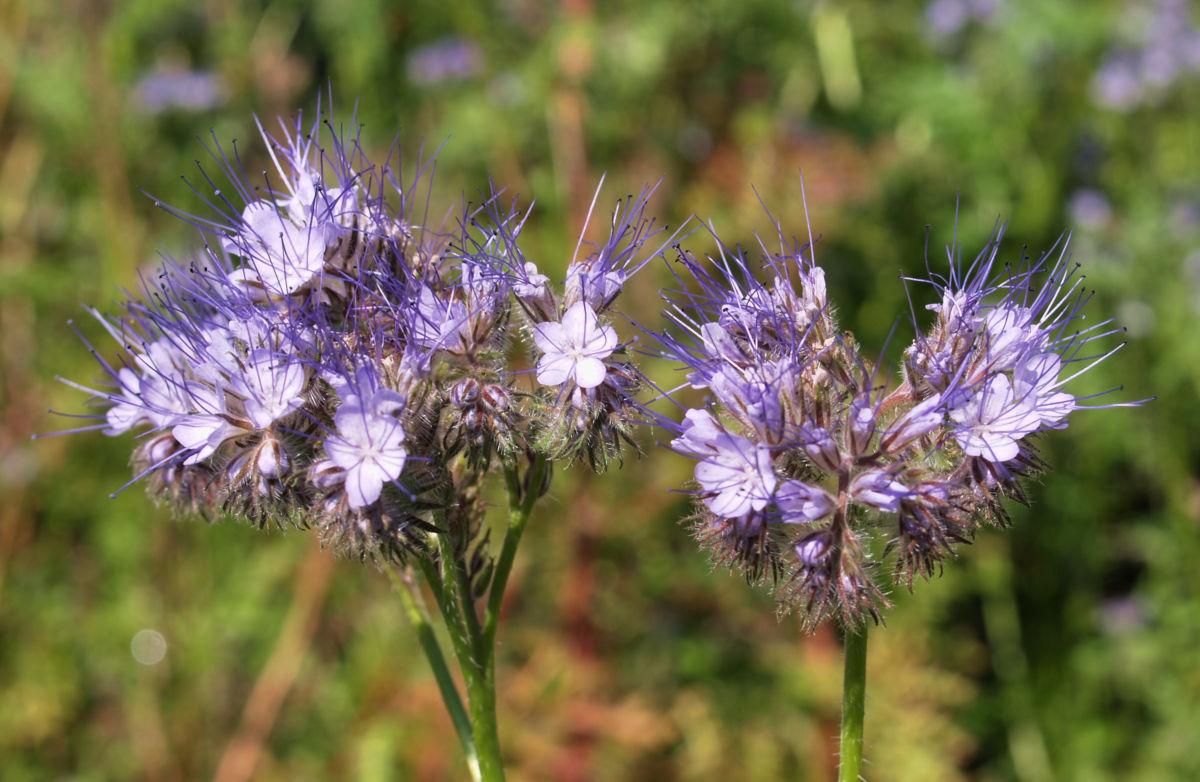 Borstiger Bienenfreund Bluete zartlila Phacelia tanacetifolia