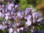 Bild: Borstiger Bienenfreund Blüte zartlila Phacelia tanacetifolia