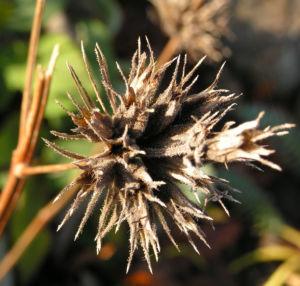 Brandkraut Blatt gruen Samen braun Phlomis samia 01