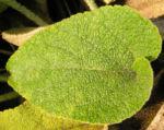 Brandkraut Blatt gruen Samen braun Phlomis samia 02