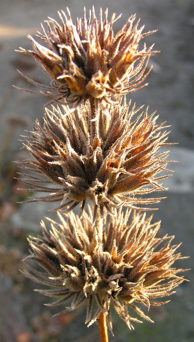 Brandkraut Blatt gruen Samen braun Phlomis samia
