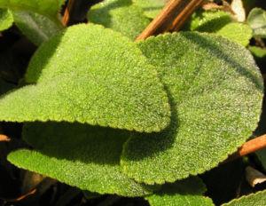Brandkraut Blatt gruen Samen braun Phlomis samia 04
