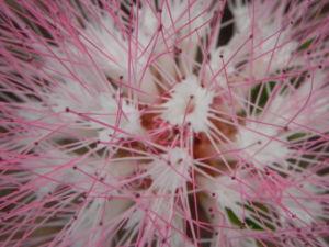 Brasilianischer Regenbaum Blüte pink weiß Samanea saman