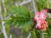 Zurück zum kompletten Bilderset Brasilianischer Regenbaum Blüte pink weiß Samanea saman