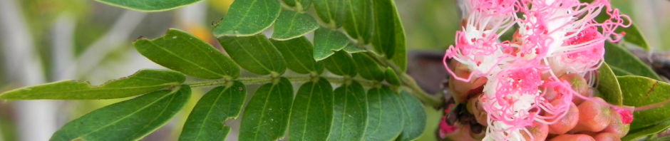 brasilianischer-regenbaum-bluete-pink-weiss-samanea-saman