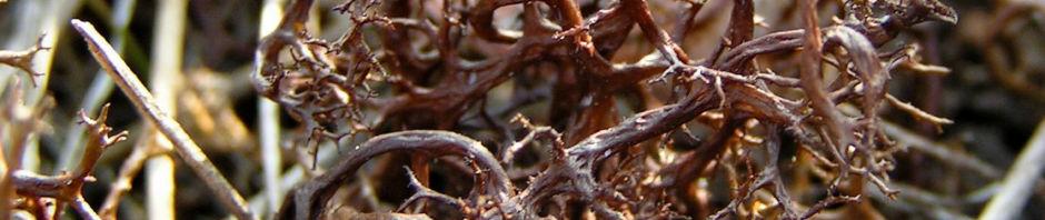 Anklicken um das ganze Bild zu sehen Braune Flechte Coelocaulon aculeatum