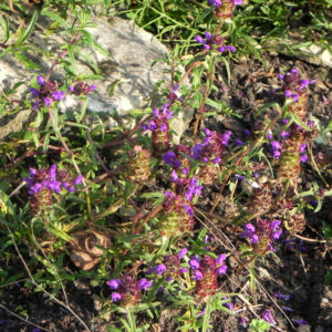 Bild: Braunelle Bluete lila Prunella