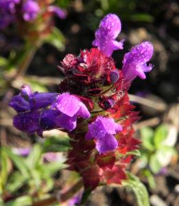 Braunelle Bluete lila Prunella 03