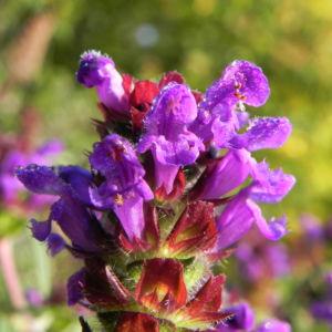 Braunelle Bluete lila Prunella 04