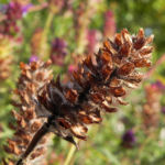 Braunelle Bluete lila Prunella 06