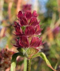 Braunelle Bluete lila Prunella 07