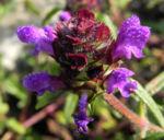 Braunelle Bluete lila Prunella 09