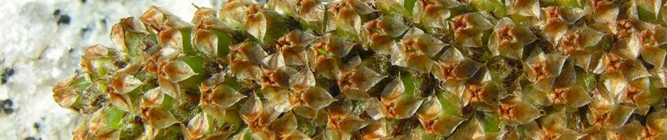 Anklicken um das ganze Bild zu sehen Breitwegerich Blüte bräunlich Plantago major