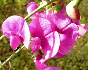 Breitblaettrige Platterbse Bluete rosa Lathyrus latifolius 01