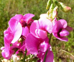 Breitblaettrige Platterbse Bluete rosa Lathyrus latifolius 07