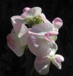 Breitblaettrige Platterbse Bluete weiß pink Lathyrus latifolius 05
