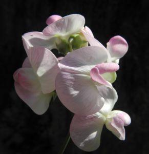 Bild: Breitblaettrige Platterbse Bluete weiß pink Lathyrus latifolius