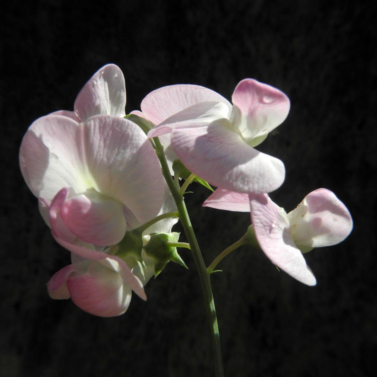 Breitblaettrige Platterbse Bluete weiß pink Lathyrus latifolius