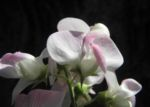 Breitblaettrige Platterbse Bluete weiß pink Lathyrus latifolius 10