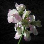 Breitblaettrige Platterbse Bluete weiß pink Lathyrus latifolius 13