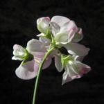 Breitblaettrige Platterbse Bluete weiß pink Lathyrus latifolius 14