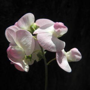Breitblaettrige Platterbse Bluete weiß pink Lathyrus latifolius 17