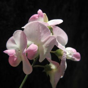 Breitblaettrige Platterbse Bluete weiß pink Lathyrus latifolius 18