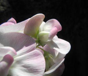 Breitblaettrige Platterbse Bluete weiß pink Lathyrus latifolius 21