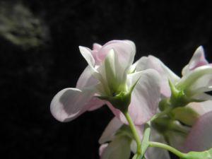 Breitblaettrige Platterbse Bluete weiß pink Lathyrus latifolius 22