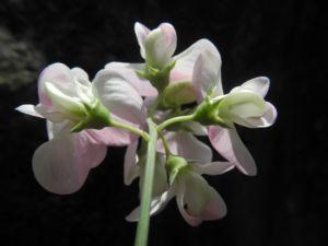 Breitblaettrige Platterbse Bluete weiß pink Lathyrus latifolius 23