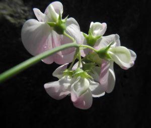 Breitblaettrige Platterbse Bluete weiß pink Lathyrus latifolius 24