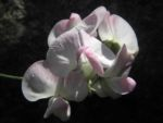 Breitblaettrige Platterbse Bluete weiß pink Lathyrus latifolius 26