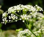 Breitblaettriger Merk Blueten Dolde weiss Sium latifolium 02